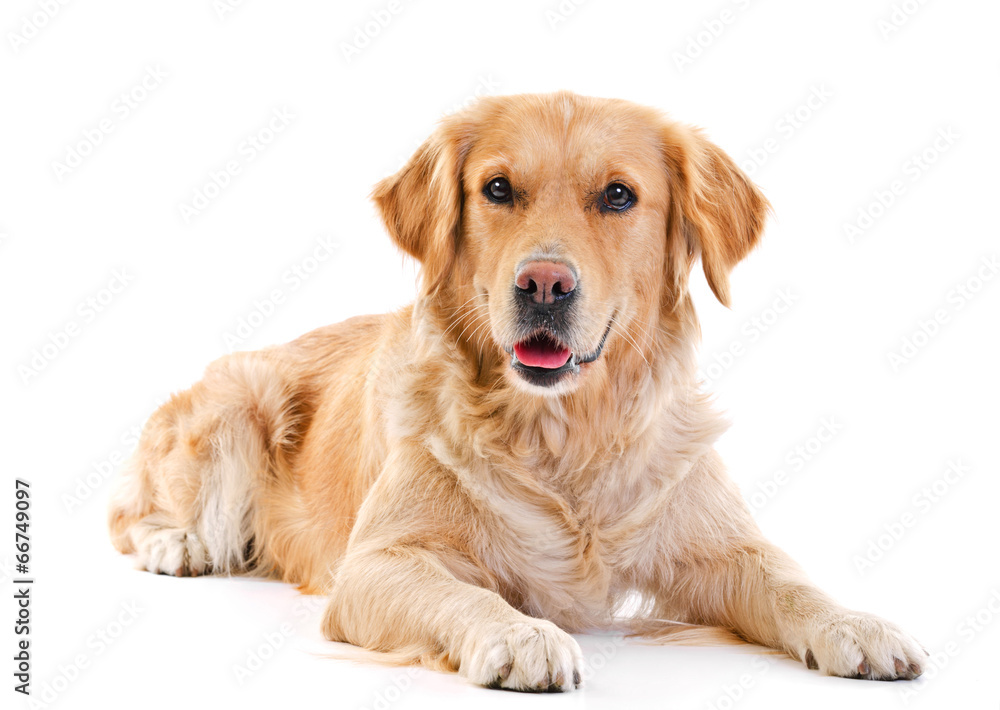Fototapeta Golden retriever laying over white background