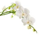 Fototapeta Storczyk - white orchid isolated on white background