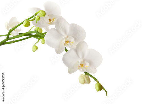 Keuken foto achterwand Orchidee white orchid isolated on white background