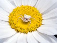 Thomisus Onustus Female - Sitting In Large Daisy Flower.