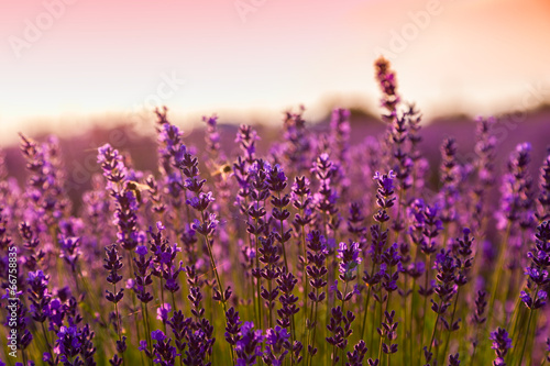 Lavender field in Tihany, Hungary