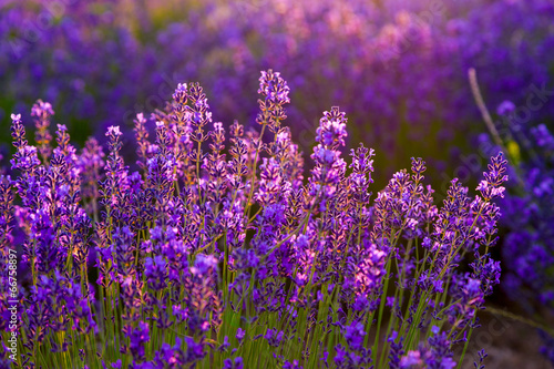 Spoed Foto op Canvas Violet Lavender field in Tihany, Hungary
