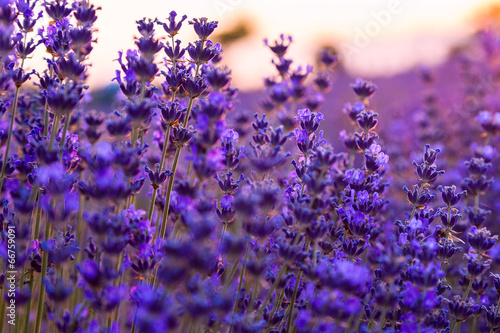 Poster Violet Lavender field in Tihany, Hungary
