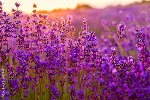 Recess Fitting Violet Lavender field in Tihany, Hungary