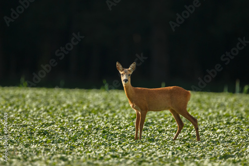 Photo Stands Roe A roe deer on a green field