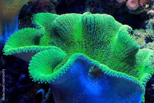 Keuken foto achterwand Koraalriffen green coral