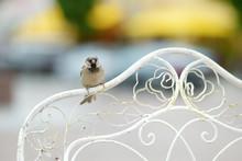 Sparrow Sitting On A Chair's B...