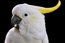 Portrait Of Sulphur-crested Co...