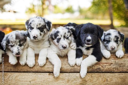 Border Collie puppies Fototapet