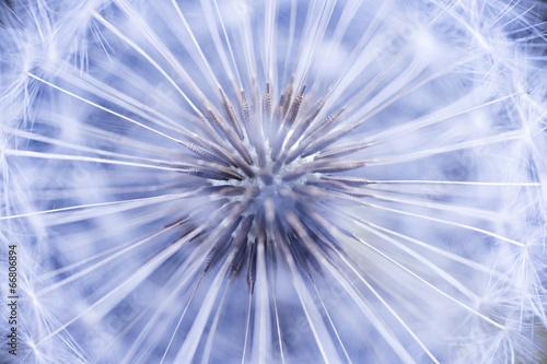 Fototapety, obrazy: Dandelion seeds