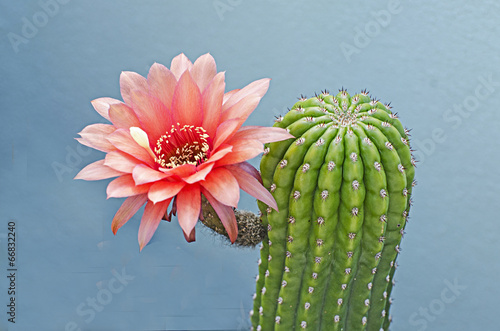 Photo  Flowering cactus