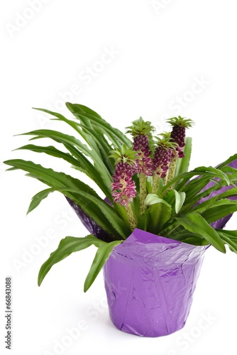 Photo  Eucomis 'Aloha Lily Leia'