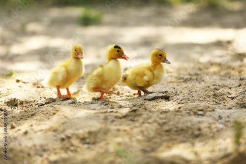 Little cute ducklings on sand, outdoors Canvas-taulu