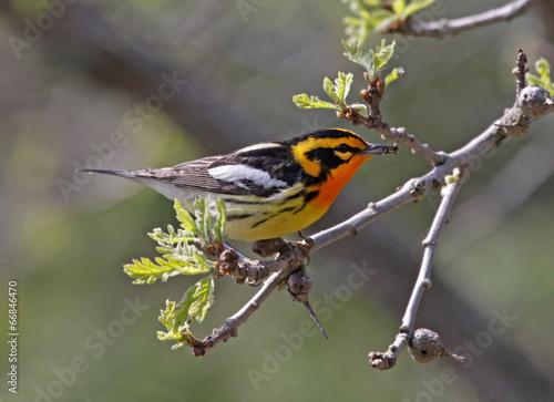 Photo Blackburnian Warbler