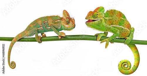 Foto op Aluminium Kameleon Chameleons