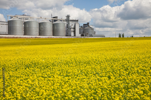 Rural Field With Yellow Flowers And Rape Granary On The Farm Buy