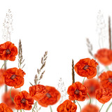 red poppy flowers in cereal grass isolated on white