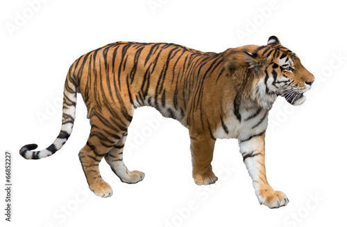 In de dag Tijger isolated on white large tiger