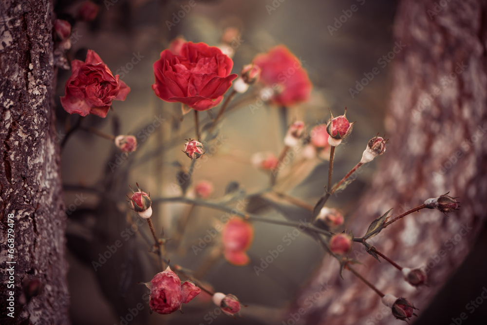 wild roses bush branches between tree branches