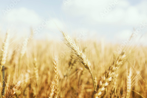 Golden Wheat Farm Poster