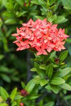 Orange Flowers Of Rubiaceae Tree (Jungle Geranium ,Ixora Coccine