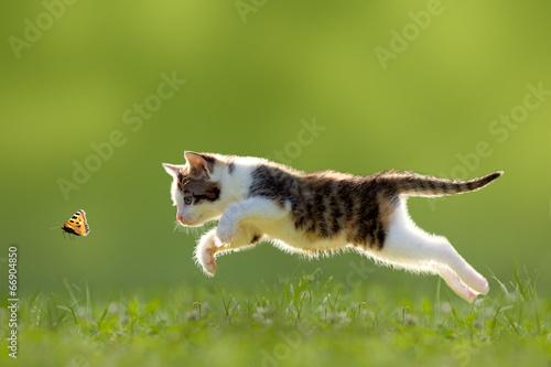 fototapeta na szkło Katze, Kätzchen im Sprung