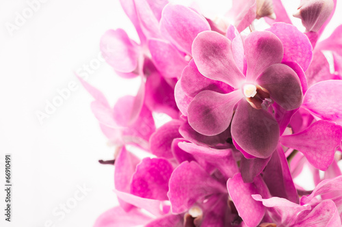 Border of orchid flower (vanda purple) isolated on white