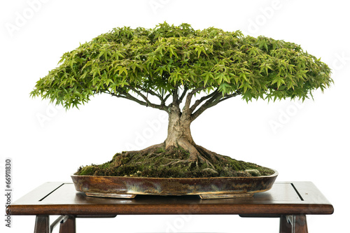 Spoed Fotobehang Bonsai Ahorn als Bonsai Baum