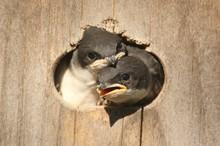 Baby Tree Swallows
