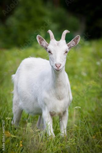 Fotografia Cute young white goat