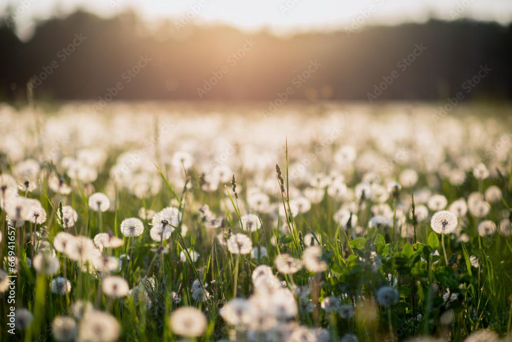 Fototapety, obrazy: dandelion field at sunset