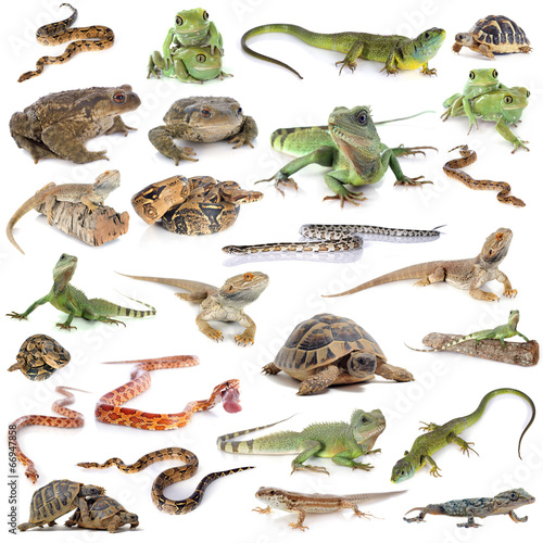 Poster Tortue reptile and amphibian