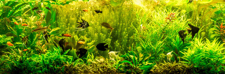 Fototapeta Rafa koralowa Ttropical freshwater aquarium with fishes
