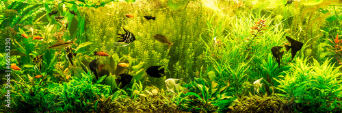 Fotografie, Obraz  Ttropical freshwater aquarium with fishes