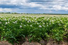 Potato Flowers Blooming