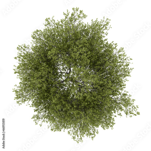 top view of poplar tree isolated on white background Canvas Print