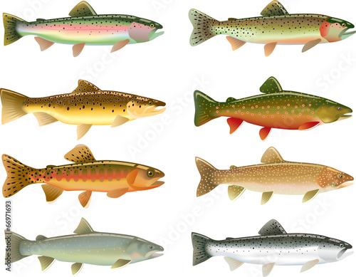 Trout Species Canvas-taulu