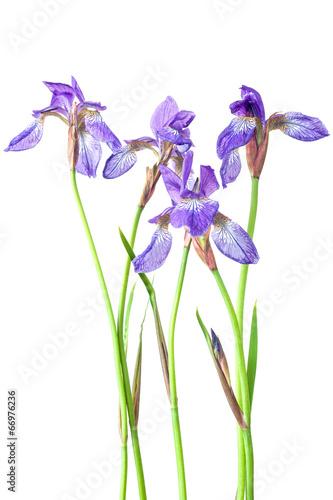 Spoed Foto op Canvas Iris Blue iris