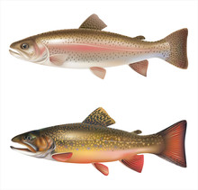 Rainbow Trout And Brook Trout ...