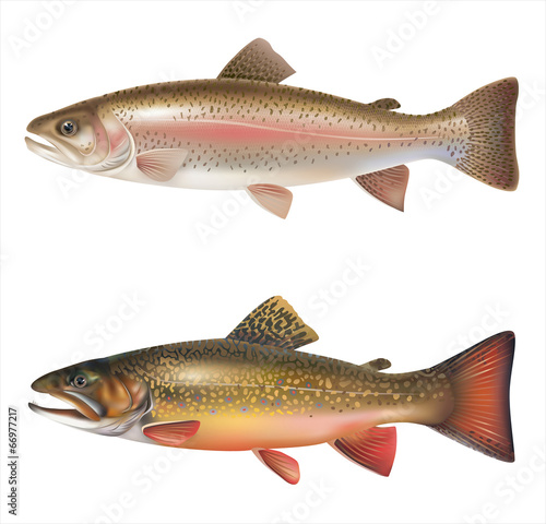 Rainbow trout and brook trout isolated on white. Vector Canvas-taulu