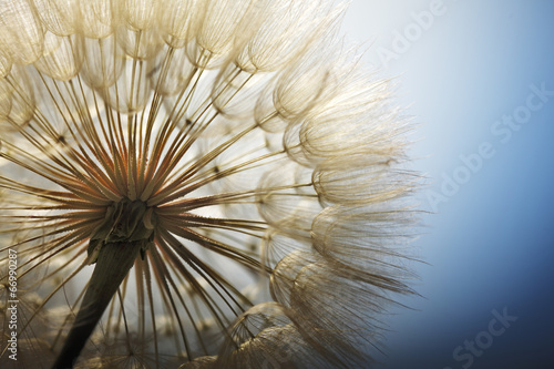 big dandelion on a blue background #66990287