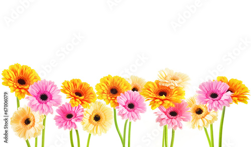 Composition with gerberas isolated on white