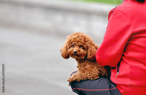 Photo  Puppy of a poodle in Shanghai