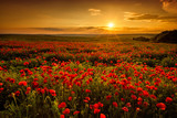 Fototapeta Room - Poppy field at sunset
