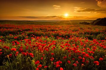 Fototapeta Poppy field at sunset