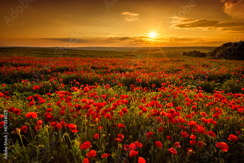 Foto op Canvas Zwavel geel Poppy field at sunset
