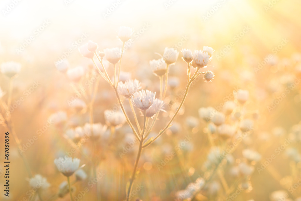 Fototapeta Meadow flowers - daisy illuminated by sunlight