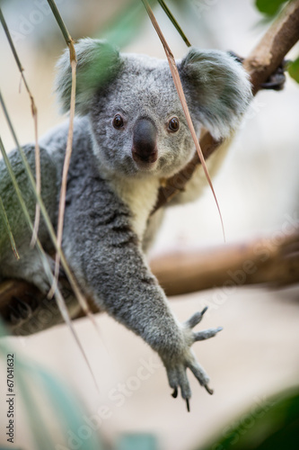 Staande foto Koala Koala on a tree with bush green background