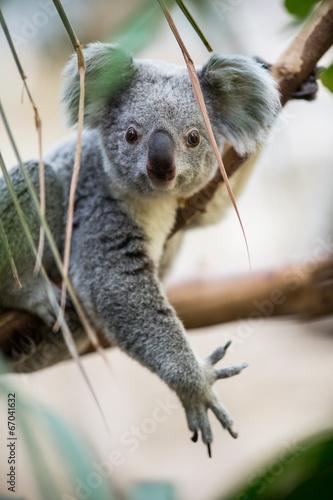 Papiers peints Koala Koala on a tree with bush green background