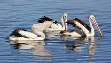 Australian Pelicans (Pelecanus Conspicillatus).